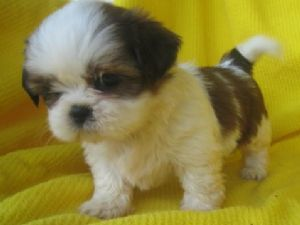 what a cutie pie. This isn't Cocoa but looks like Cocoa as a puppy