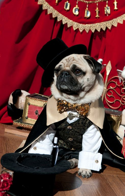 amazing pug pictures - Google Search