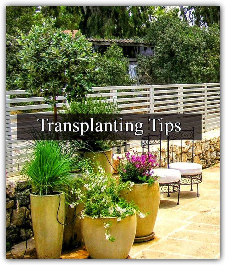 Although transplanting, also known as re-potting, is a term that relates to both pots and garden soil. Many of you (my precious readers) sent me Q's regard pruning shrubs, trees etc..