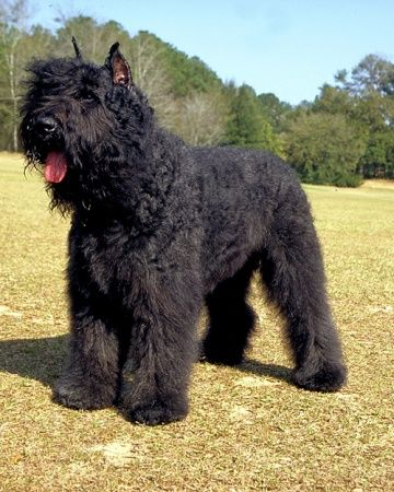 Bouvier des Flandres the best dogs in the WORLD!!!!!