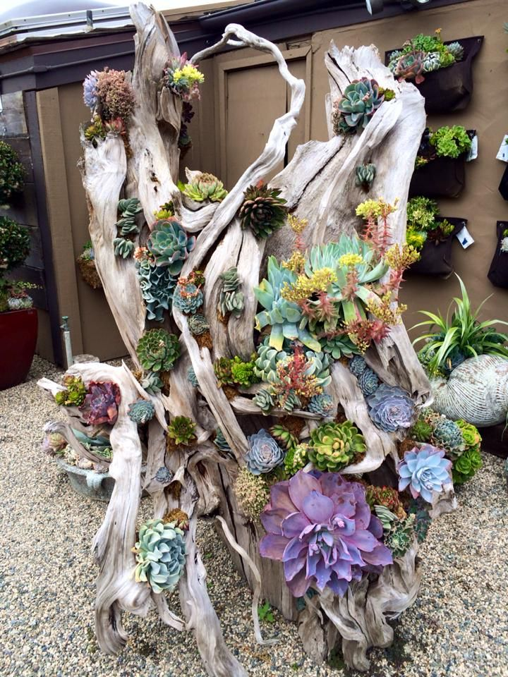 succulents in a large piece of driftwood at rodgers garden in corona del mar photo