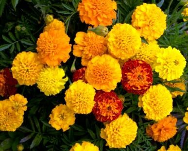 how to get seeds from marigolds