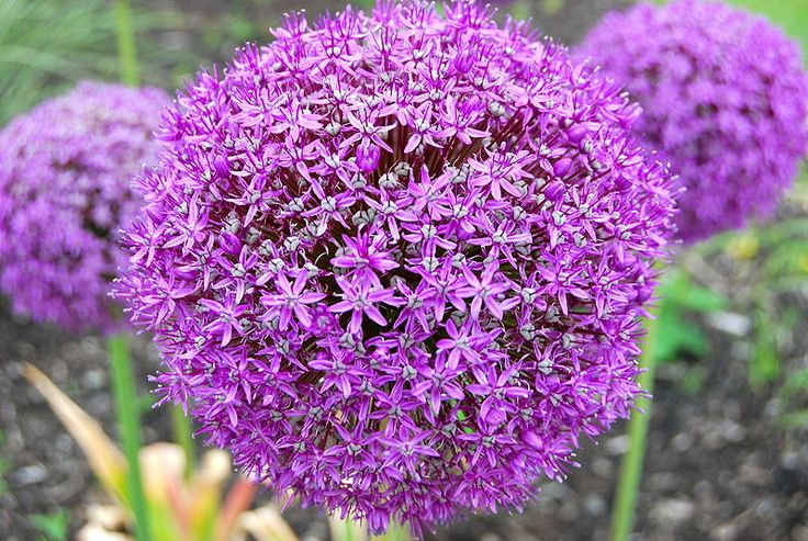 Allium - just love them!