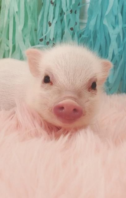Best 25+ Baby pigs ideas on Pinterest | Baby pig, Baby ...