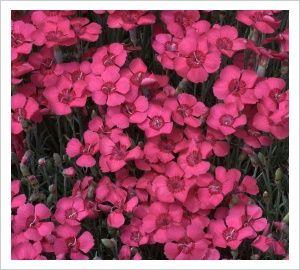 Dianthus 'Brookes Cottage' | Lambley Nursery 30 x 30