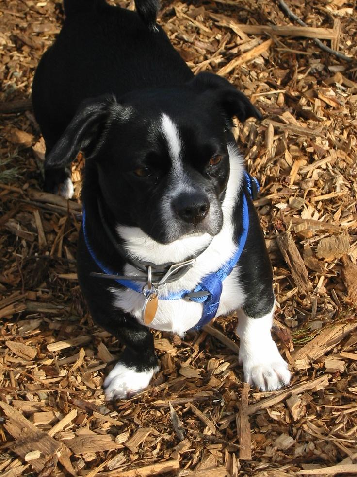 My dog Buster  possibly pug/corgi mix