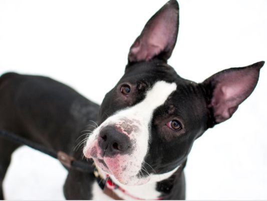 """Clementine, a 19-month-old puppy who came to ACC as a stray, has been described as """"all wiggles and wags"""" and """"a major snuggler."""" Meet Clementine at AC&C's Manhattan Care Center, at 326 E. 110th Street, or email adoption@nycacc.org with her A#: A1028142."""