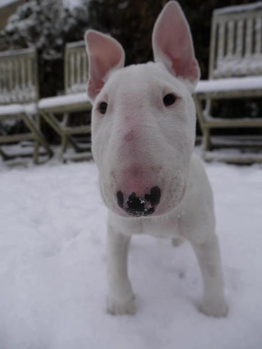 #English bullterrier.. i am dying. WHAT A CUTIE! These doggies are growing on me. I can't wait until Johnny has one for a sister :)