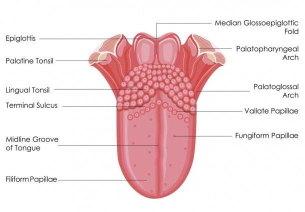Diagram Of Taste Buds On Tongue Tongue Taste Buds Taste Buds Tongue