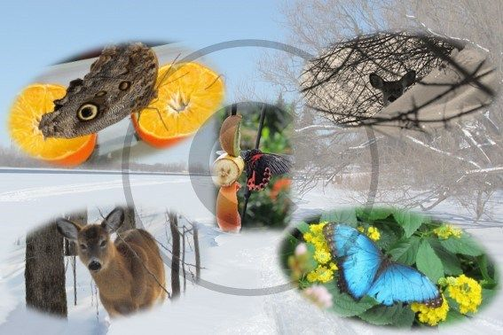 Carte postale animaux, chevreuil et papillons, Québec   Christie Cartes $2 christiecartes.com #cartepostale