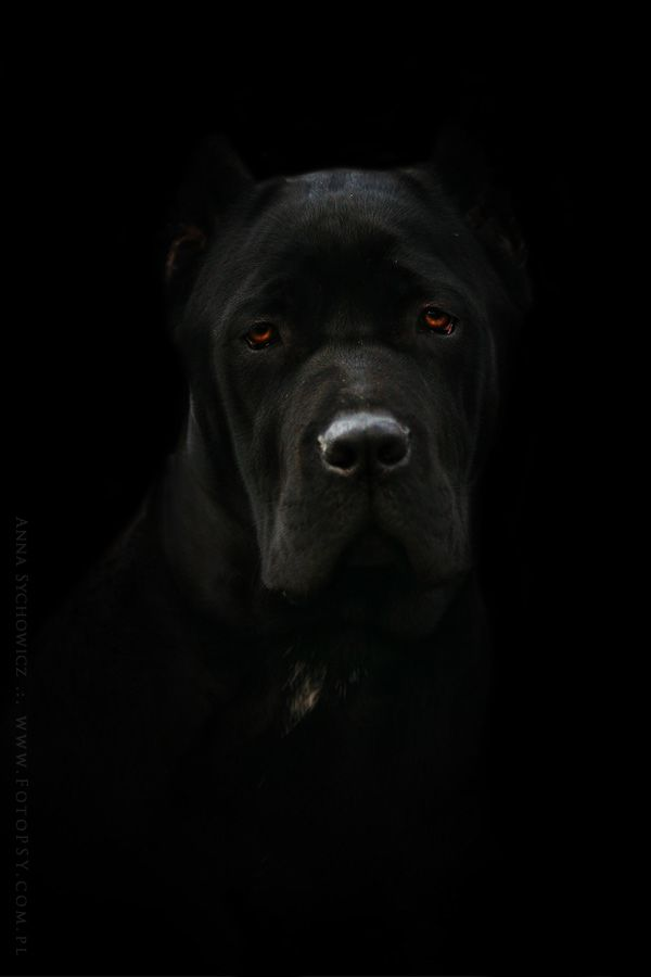 Italian Mastiff....my future dog...the bigger and droolier the dog the more he should cuddle with me.