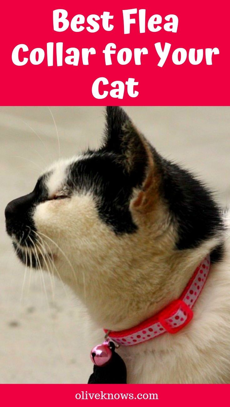 Best Flea Collar For Your Cat Cat Flea Collar Flea Collar Cat Fleas