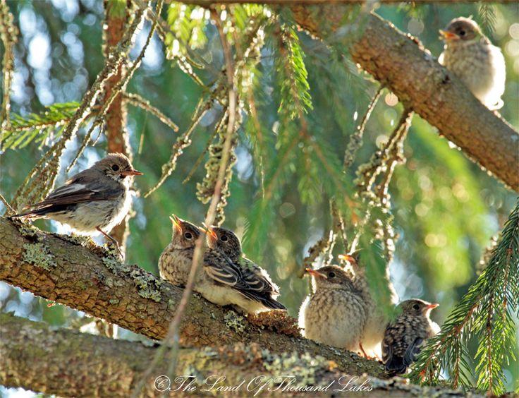 Linnun poikaset oksalla juuri pesästä lähteneenä.