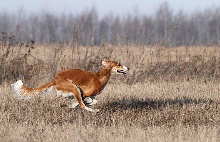 Фото охотничьих собак породы южнорусская степная борзая. Большая удача иметь охотнику такую породу. Спокойно принимает любую поверхность для бега.