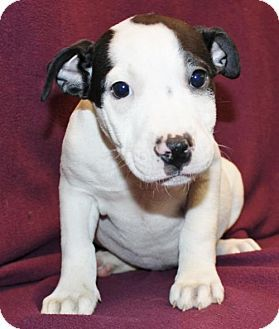 Hillsdale, IN - Boxer/Labrador Retriever Mix. Meet Zeus, a puppy for adoption…