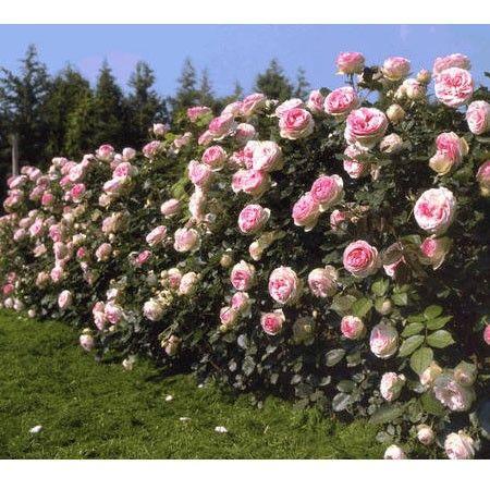 Les 25 meilleures id es de la cat gorie rosiers grimpants sur pinterest jardin de fleurs - Comment tailler un rosier grimpant ...