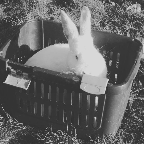 King of Diamonds #Hase #Kaninchen #кроль #whiterabbit #兔子 #králík #kanin #jänis #lapin #κουνέλι #kelinci #conejo #ウサギ #兎 #うさぎ #doadopcji #nofilter #króliczek #krolik #l4l #like4like #likeforlike #rabbit #rabbits #bunny #bunnies #rescue  Did you know? PORTHOS and MARCELINE were adopted in January  Keep your fingers crossed for more adoptions. To see who lucky ones were see our facebook page - link in bio