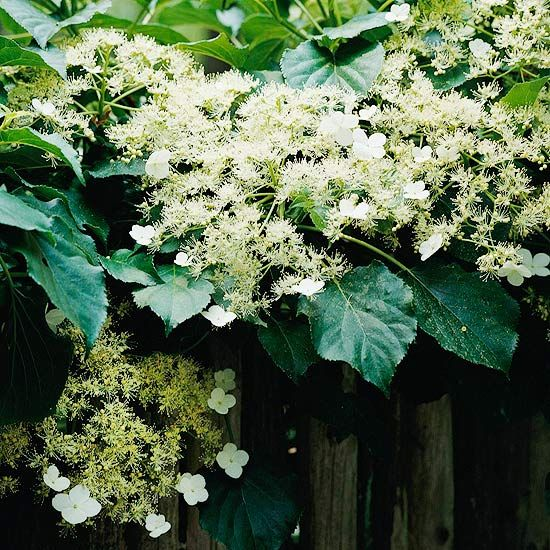 176 best botanical beauty and gardening tips images on pinterest the best perennial vines for your garden mightylinksfo