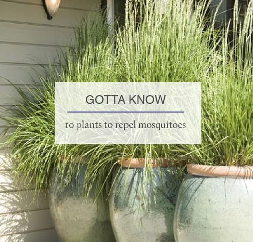 Gottesman Residential Real Estate - GOTTA KNOW: 10 Plants that Repel Mosquitoes ...