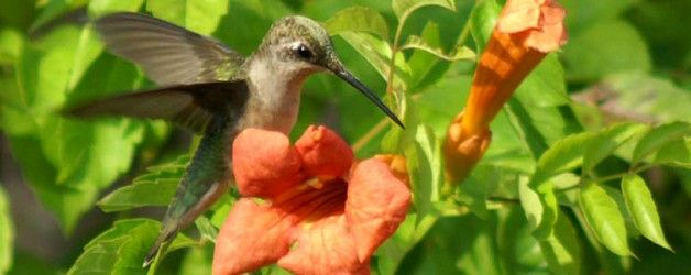 Flowers to attract hummingbirds. Plants are listed for USDA Hardiness Zones 1-11, Michigan Zones are 3-6.