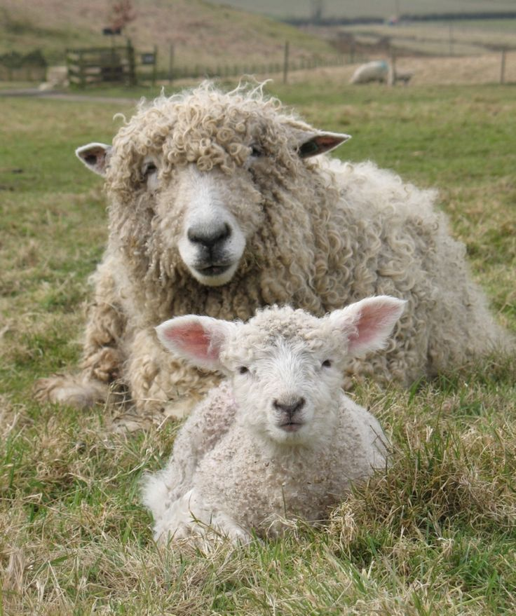 Lincoln Longwool Ewe 'Risby Moonlight' with her Ram Lamb born 11th March 2010