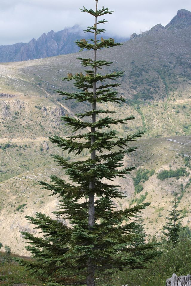 For years I bought my tree from Eddy's Trees in the old K-Mart parking lot.  The shopping center was recently remodeled...and Eddy's disappeared.  He used to remark that he had to hike really high in the mountains to find the 12' to 13' Noble Firs that I liked.