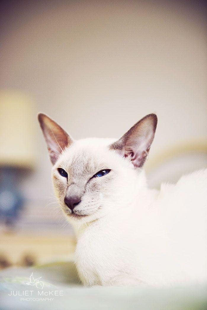 Siamese cat  Lilac Point Siamese cat (Thea)