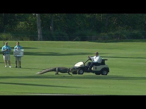 Circuit PGA de La Nouvelle Orléans : Quand un alligator débarque en plein tournoi de golf