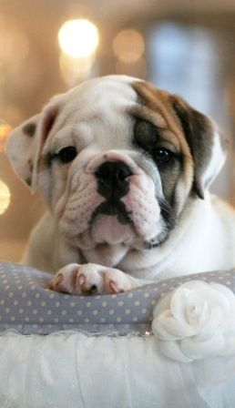 Cute bulldog puppy sitting on a couch.. click on picture to see more..