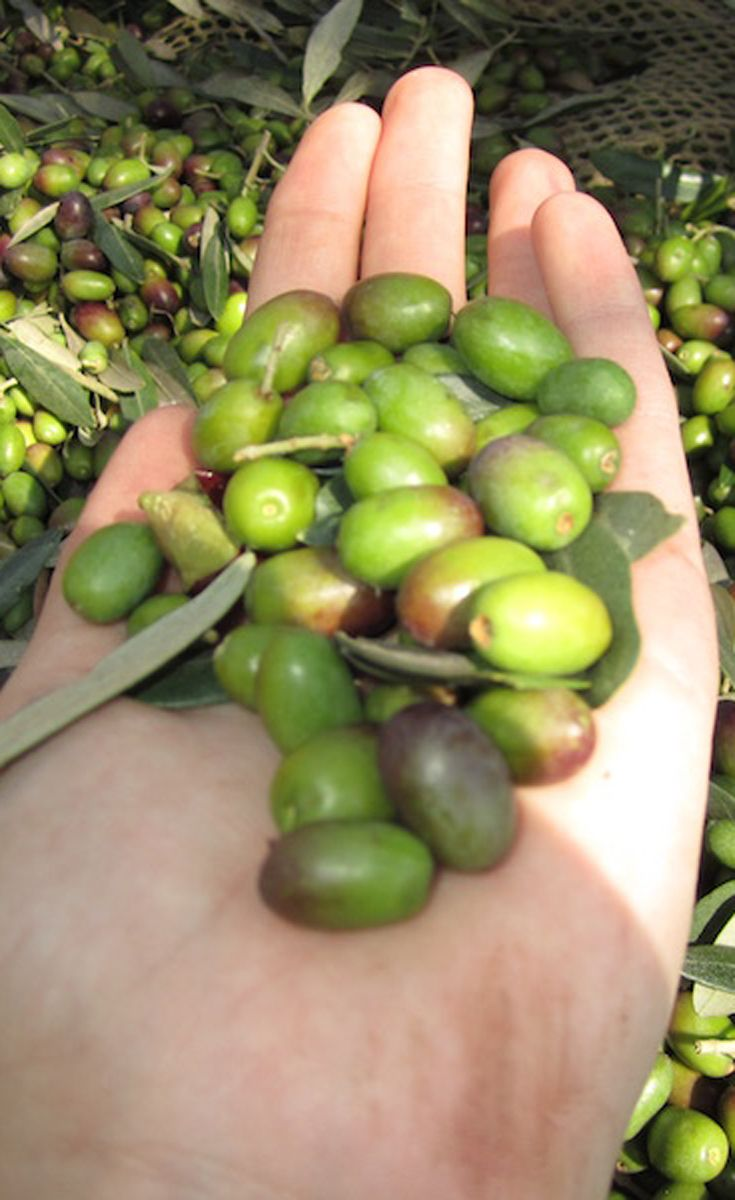 A handful of olives ready to use for producing the very best Tuscan olive oil.