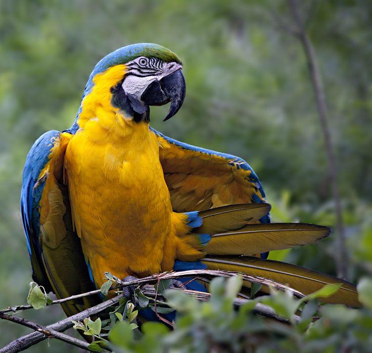 Guacamaya azul y amarillo (Ara ararauna)