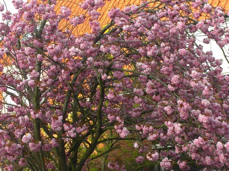 Deze boom staat in bloesem. En zo als ik als ik al zei: Ik heb geluk want een boom staat maar een bepaalde periode in bloei.