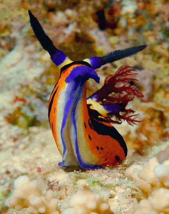 Creatures of the deep. Beauty of the ocean. Brightly coloured Sea Snail >> https://www.adaptnetwork.com/category/environment/wildlife/
