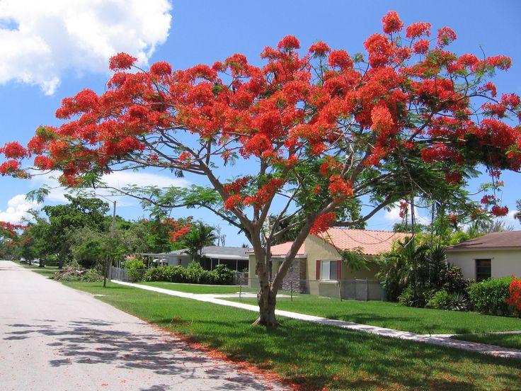 tanaman hias flamboyan