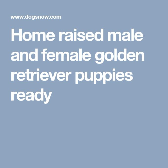 Home raised male and female golden retriever puppies ready