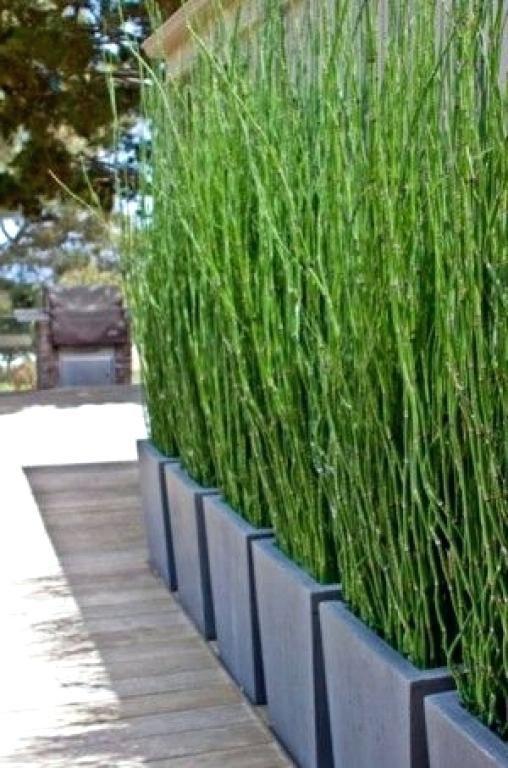 51 Design Zum Sichtschutz Pflanzen Kübel Sichtschutz
