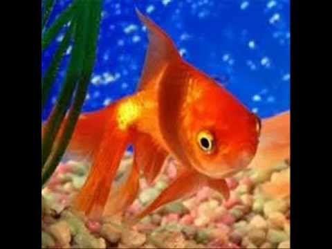 M s de 25 ideas incre bles sobre pez japones en pinterest for Koi cuidados