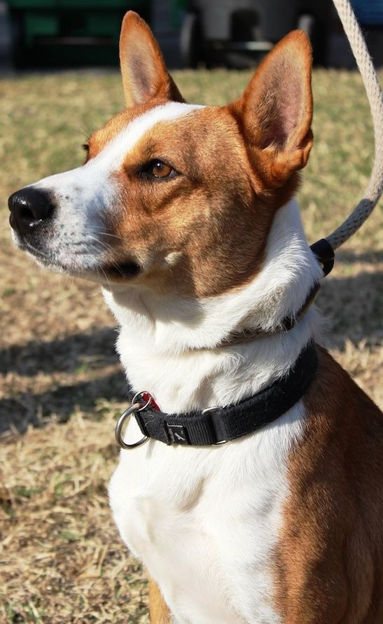 Adopt Chevy on Chevy, Cattle and Cattle dogs