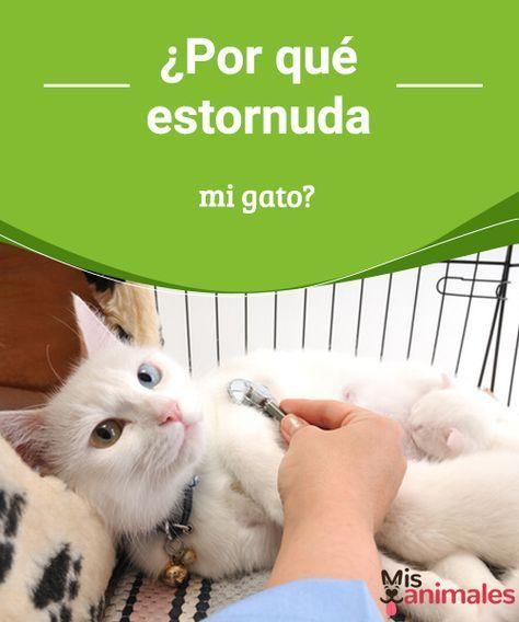 ¿Por qué estornuda mi gato? ¿Tu gato ha estornudado alguna vez? Seguro que sí. Es posible que no has sabido el motivo, hoy en Mejor con Mascotas te lo contamos con detalle. #estornudar #gato #motivos #salud
