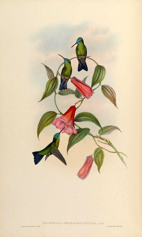 Lapageria rosea - Chilean Bellflower - circa 1861