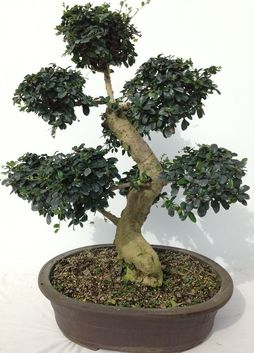 Featured Local Bonsai For Sale in the North Miami, Dade County, and Broward County Areas.