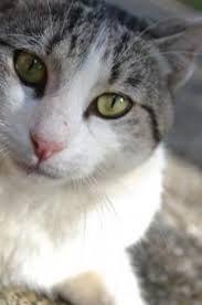 Resultado de imagem para gatos cinzentos e brancos bebés