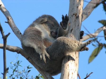 Let's Save the Koala