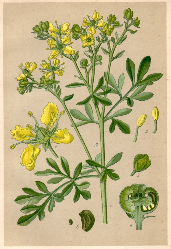 1901 Herb of Grace Rue Botanical Print Ruta by Craftissimo on Etsy