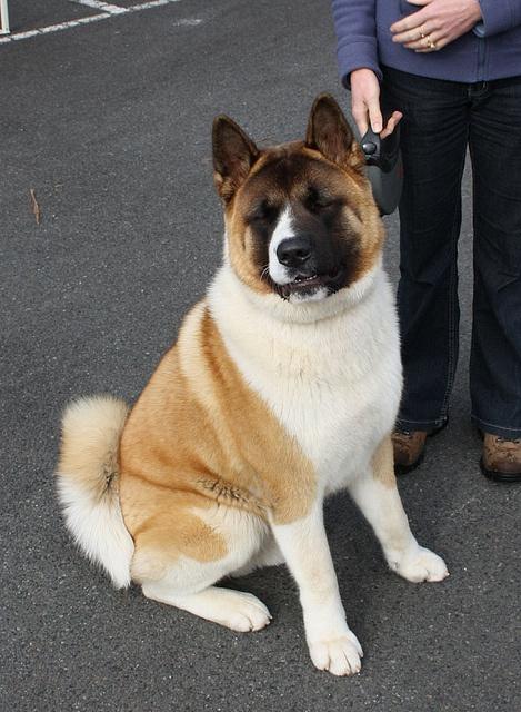 Most Inspiring Akita Chubby Adorable Dog - b664cc949e001c4c65beffa9475bd6e8--cute-boys-bestest-friend  Gallery_635184  .jpg
