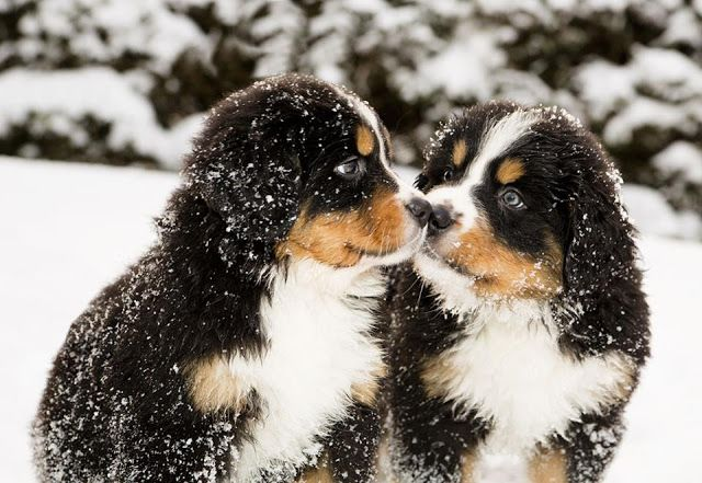 Bernese Mountain puppies playing in the snow, click the pic for more