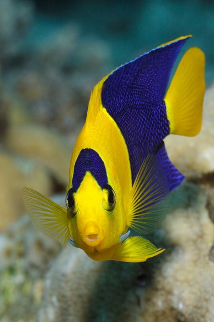 .: Bi Toms, Rocks Beauty, Beautiful Fish,  Holocanthus Tricolor, Toms Judkowiak, Tropical Fish, Blue Yellow, Underwater Beautiful, Bicolor Angel