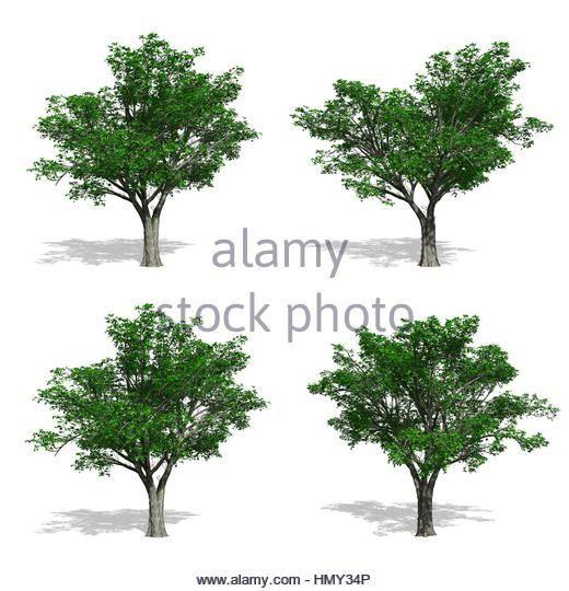 Elm fák, elszigetelt fehér háttérrel.  Stock fotó (scheduled via http://www.tailwindapp.com?utm_source=pinterest&utm_medium=twpin&utm_content=post191002825&utm_campaign=scheduler_attribution)