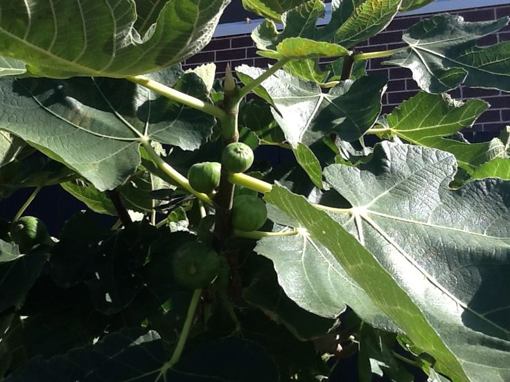 This is our small fig tree which has more fruit than our big fig. Will we get some before the birds do though?