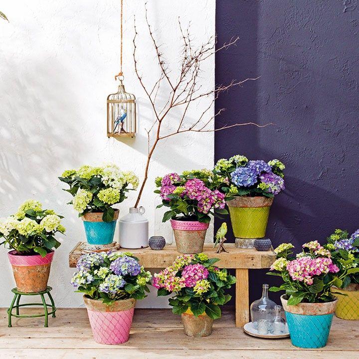 Wat een vrolijkheid! Gekleurde hortensia's in mooi geglazuurde terracotta potten. #hortensia #terras #intratuin